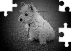 Pies, West Highland White Terrier