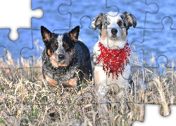 Dwa, Psy, Australian cattle dog, Border collie, Sucha, Trawa