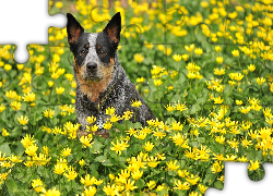 Australian cattle dog, Łąka, Kwiaty