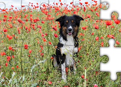 Border collie, Łąka, Maki