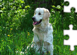 Golden retriever, Język, Trawa